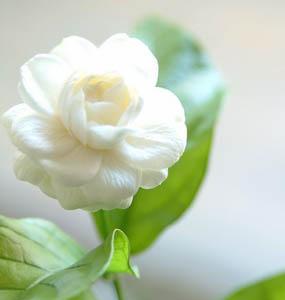 วันแม่, วันแม่แห่งชาติ, ประวัติวันแม่, เพลงค่าน้ำนม, ผู้แต่งเพลงค่าน้ำนม, เพลงวันแม่, เพลงรักแม่, ดอกมะลิ, ดอกไม้วันแม่, สัญลักษณ์วันแม่, กิจกรรมวันแม่, แม่ลูก, รักแม่, พระคุณแม่, รักบริสุทธิ์, สิงหาคม, 12 สิงหาคม, เดือนวันแม่, เทศกาลวันแม่